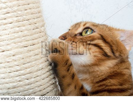 Close-up Of A Bengal Cat Scratching Its Claws On A Sisal Scratching Post
