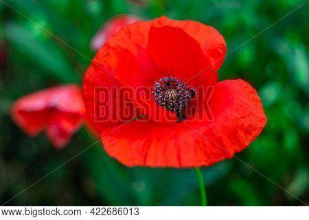 Wild Red Poppy Flower Close-up In Green Grass. Beautiful Summer Wallpaper, Floral Pattern, Nature Ba