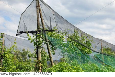 Anti-hail Nets For The Protection Of The Orchard And Plants