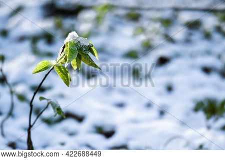 The Green Sprout Of The Bird Cherry Is Covered With Snow During Unexpected Precipitation In The Spri