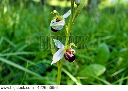 Close Up Of A Bee Orchid (ophrys Apifera) Showing The Rarer Whiter Sepals, Thought To Be Caused By S