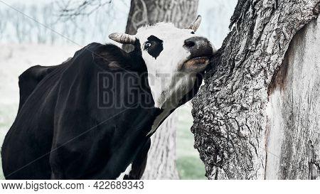Pretty Cow Rubs Her Cheek Against A Tree.