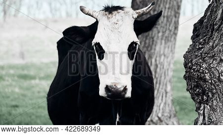 Spotted Brown Cow Grazes On A Green Lawn. Horned Cow Looks At The Camera. Full Length Portrait Of A