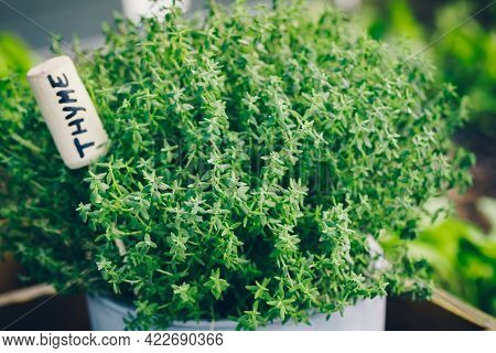 Thyme. Thyme Plant In A Pot. Thyme Herb Growing In Garden. Organic Kitchen Herbs Plant.