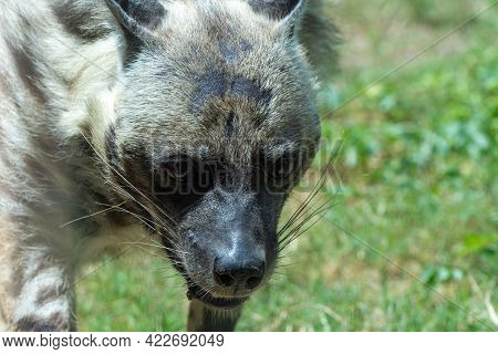 Striped Hyena (hyaena Hyaena) A Rare Endangered Species In The Middle East Very Close Up