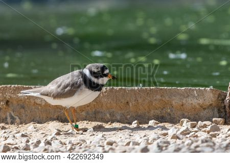 A Common Ringed Plover Or Ringed Plover (charadrius Hiaticula) Close Up A Wading Bird In The Summer