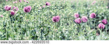 Purple Poppy Flower, Meadow Of Poppy Flowers