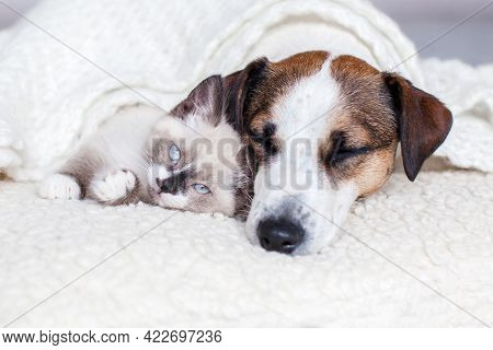 Dog and cat sleeping together. Dog and small kitten on white blanket at home