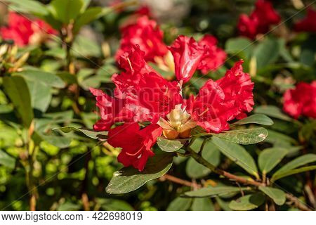 Blood Red Rhododendron Blossoming In Bright Sunny Spring Day. Red Rhododendron Flowers. Close Up Pho