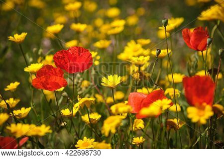 Poppies Growing Amongst A Meadow Of Wild Yellow Daisy Flowers In Corsica