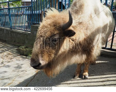 Bison, Or American Bison, Is A Species Of Cloven-hoofed Mammals From The Tribe Of Bulls Of The Bovin