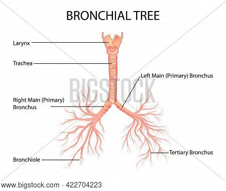 Healthcare And Medical Education Drawing Chart Of Human Bronchial Tree Of Lungs For Science Biology