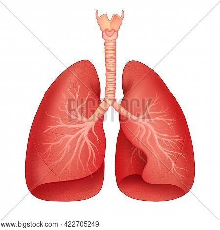 Healthcare And Medical Education Drawing Chart Of Human Lungs For Science Biology Study