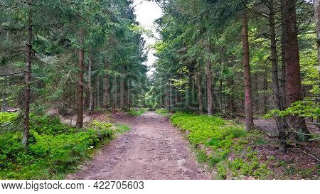 Pathway Going Through Spruce Forest In National Park Called Sumava. It's Spring Morning So Everythin