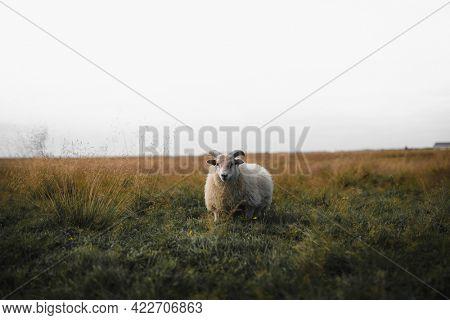 Scottish sheep standing alone on a field