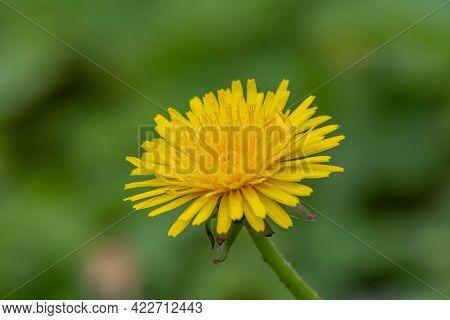 Details Of A Dandelion Flower - Ann Arbor - Michigan