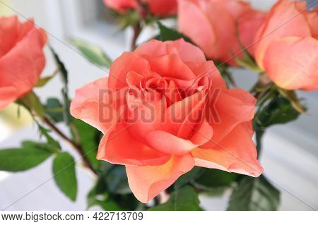 Beautiful Bouquet Of Delicate Roses Close Up