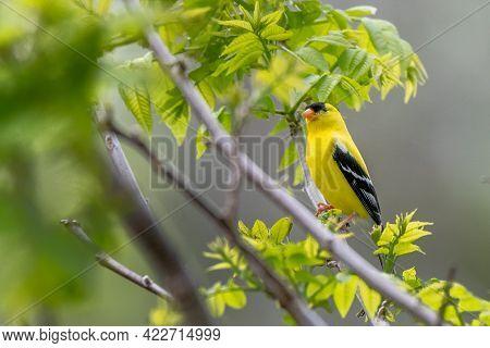 Male American Goldfinch Bird In Michigan - Usa