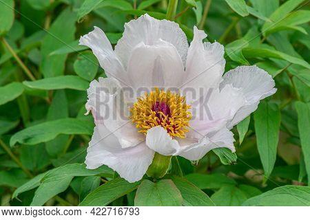 Details Of A Peony Flower - Ann Arbor - Michigan