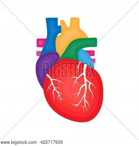 Human Heart Anatomy. Cardiology Concept. Human Internal Organ Illustration.