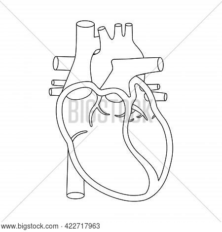 Human Heart Illustration. Anatomically Correct Heart With Cross-section View.