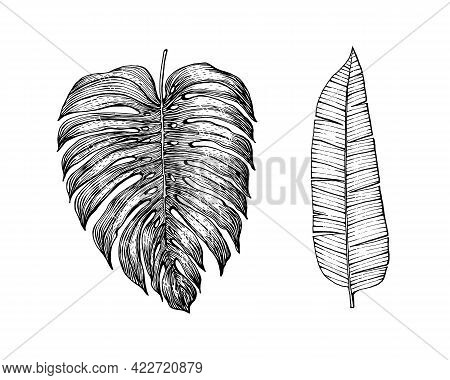 Palm Plant. Tropical Monstera. Exotic Leaves And Leaf. Vintage Fern. Engraved Flowers. Hand Drawn. B