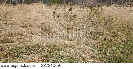 Autumn Meadow Grasses With Yellow Leaves Of Birches