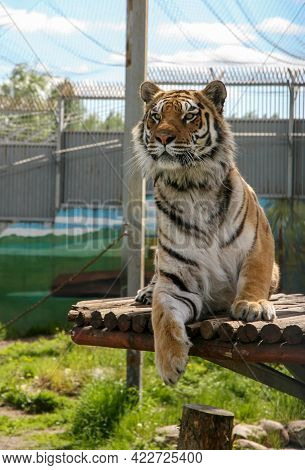 Interested Amur Tiger On A Sunny Summer Day