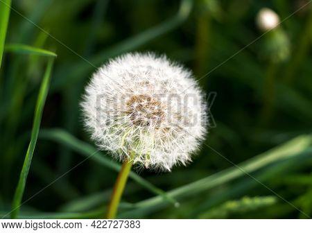 White Fluffy Dandelion On A Dark Green Background Close-up