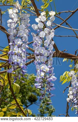 View Of Blue Dream Japanese Wisteria Flowering Plants With Hanging Racemes. Macro Photography Of Nat