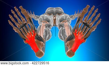 Long Plantar Ligament Anatomy For Medical Concept 3D