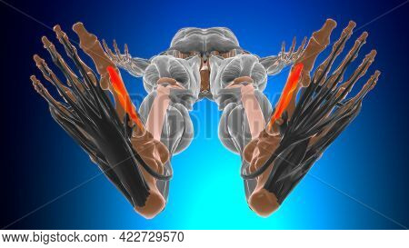 Medial Head Of Flexor Hallucis Brevis Anatomy For Medical Concept 3D