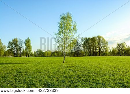A Birch Tree Stands In The Middle Of A Green Field