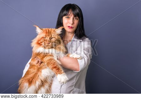 A Girl Veterinary Holding In Arms A Huge Cat On Grey Background. Veterinary Science. Isolated.