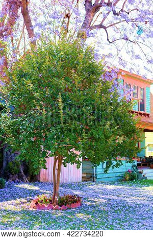 Purple Flower Peddles From A Jacaranda Tree Covering A Lawn In Front Of A House Taken At A Manicured