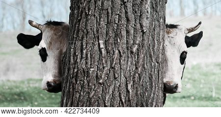 Half A Horned Cow's Face. A Funny Cow Looks Out From Behind A Tree. Cow's Head.