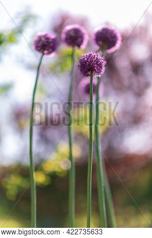 Wild Native Beauty Flower Allium Echinops Thistle With Nectar Blooming In Field. Nature Consisting O