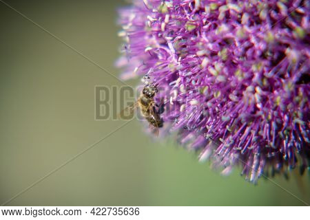 Wild Beauty Flower Allium Echinops Thistle With Bee Blooming In Field. Nature Consisting Of Bee On B