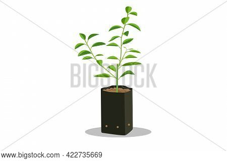 Sprout Young Seedling In Black Bag.lime Tree Seedling Vector Isolated White Background.plant Little