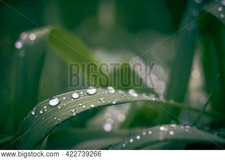 Closeup Of Dew Drops After Rain On A Dark Green Leaf Of Wheatgrass. Blurred Drops In The Background