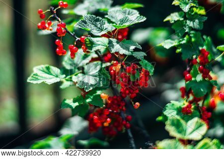 A Close-up View Of A Branch Of A Bush Of A Red Currant Berry With Berriesbunches In The Summer Gard