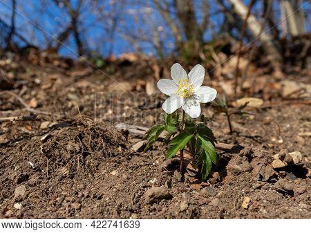 White Spring Flower Called Wood Anemone, Anemone Nemorosa Or Windflower