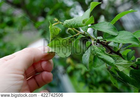 Rosy Apple Aphids On The Inside Of The Leaf. Agricultural Pest. Hand Holding The Infected Leaf Of A