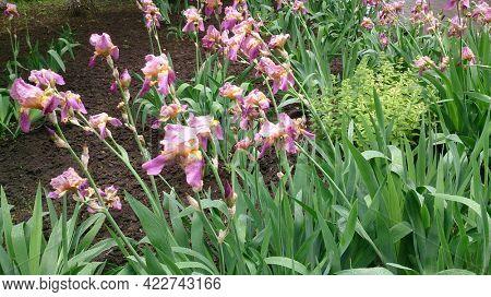 Iris sibirica. Beautiful delicate flower with large petals. Pink iris flower