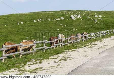 A Flock Of Calves Following The Adult Calf Behind A Fence Near A Road