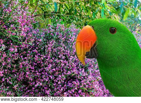 Ecelectus Male Parrot On A Floral Background, The Male Is Mostly Bright Emerald Green Plumage