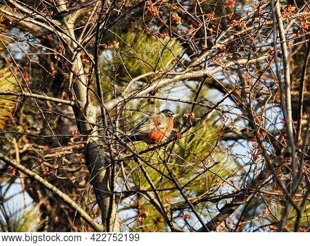Bird In A Tree On A Winter Morning: An American Robin Is Perched High In A Tree Keeping Warm On A Co