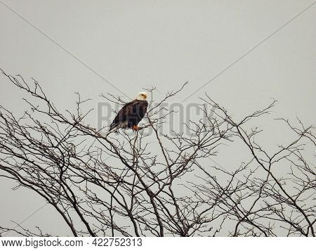 Bald Eagle On A Cold Winter Day Perched On Tree Top: On A Snowy And Cold Winter Morning, A Bald Eagl