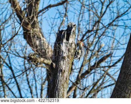 Woodpecker Scaling A Dead Tree Trunk: A Red-bellied Woodpecker Bird Scales A Dead Tree Trunk On A Wi