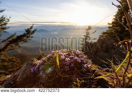 Wild Flowers On Top Of A Mountain In The Canadian Nature Landscape. Sunny Sunset. Elk Mountain Hike